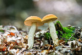 Wild mushroom in forest  — Stock Photo