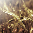 Processed photo of grass and rays of the rising sun — Stock Photo