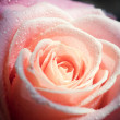 Background with pale pink rose (close-up) — Stock Photo #24240633