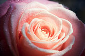 Background with pale pink rose (close-up) — Stockfoto