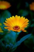 花カレンデュラとロマンチックな神秘的な背景 — ストック写真