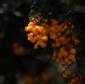 Bunch of yellow flowers on a dark background — Stock Photo