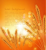 Vector background with gold ears of wheat and sunrays — Stock Vector