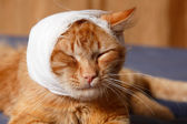 Cat ear ache with bandage — Stock Photo