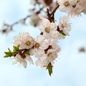 Spring tree branch blooming flower — Stock Photo