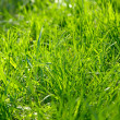 Rich spring green grass — Stock Photo