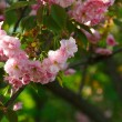 Flowers of blooming Japanese cherry tree — Stock Photo