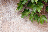 Grunge wall with grape leaves — Foto de Stock