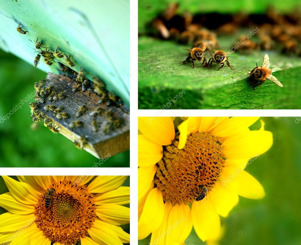 Summer collage. Bees and sunflowers — Stock Photo #12079556