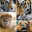 Big cats collage — Stock Photo