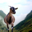 Mountain goat — Stock Photo #23402128
