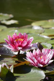 Pink lotus flowers — Stock Photo