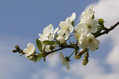 Apple Blossom - 14 — Stock Photo