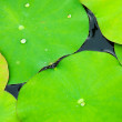 Stock Photo: Lotus leaf.
