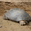 Stock Photo: Large turtle