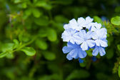 Blue flowers. — Stock Photo