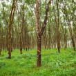 Stock Photo: Rubber trees.