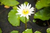White lotus. — Stock Photo