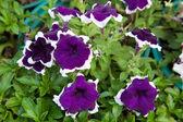 Small purple flowers. — Stock Photo