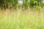 Tall grass. — Stock Photo