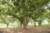 Mango plantation. — Stock Photo