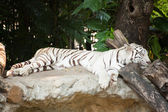 Sleeping tiger. — Stock Photo