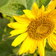 Sunflower — Stock Photo #24785745