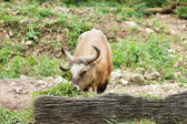 Gaur feeding grass. — Stock Photo