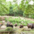 Stock Photo: Gaur feeding grass.