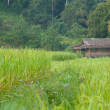 Rice fields have a house on a hill. — Stock Photo