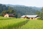 House and rice fields — Stock Photo