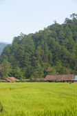 House and rice fields — Foto Stock