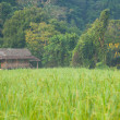 Rice fields have a house on a hill. — Stock Photo #37810279