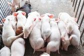 Piggy — Stock fotografie