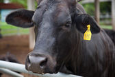 Beef cattle — Foto de Stock