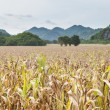 Stock Photo: Fields of corn agricultural