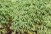 Cassava tree — Stock Photo