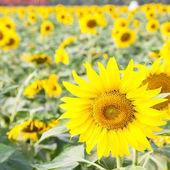 Sunflower in a field — Стоковое фото