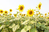Sunflower in a sunflower farm — Stock Photo