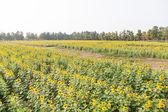Girasole in campo di girasole — Foto Stock