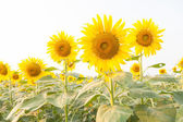 Sunflower in sunflower field — Stock Photo