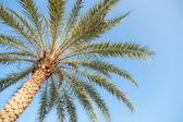 большие пальмы — Стоковое фото