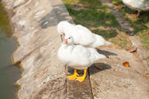 White Duck in the garden — Stock Photo