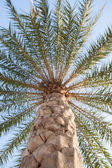 Large palm tree — Stockfoto