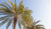 Büyük bir palmiye ağacı — Stok fotoğraf