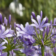 Agapanthus — Stock Photo #31173565