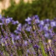 Lavender landscape — Stock Photo #31173653