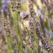 Lavender background with insect bee — Stock Photo