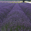 Lavender landscape — Stock Photo #31174013