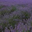 Lavender landscape — Stock Photo #31174107